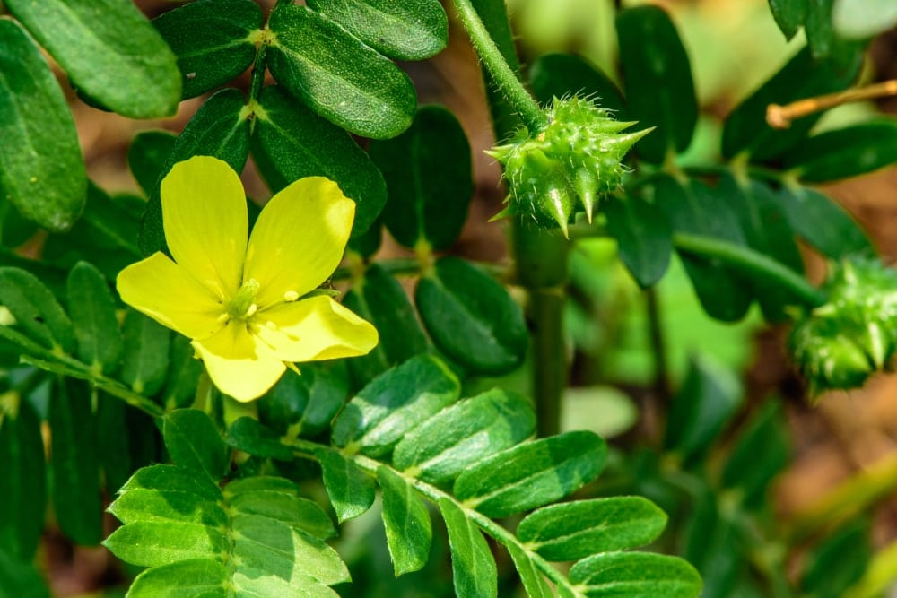 Benefits and properties of Tribulus Terrestris - Natura Force
